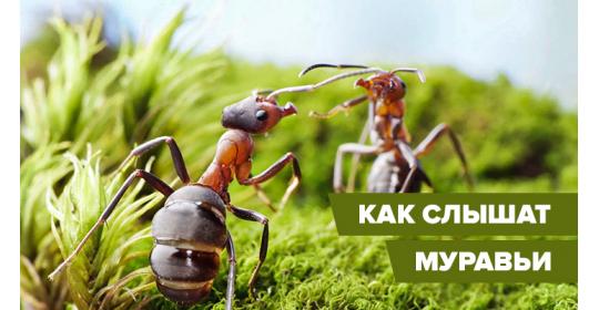 Глухо, как в танке: как и чем нас слышат муравьи