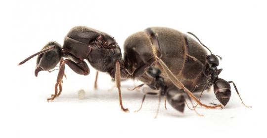 Сколько живет муравьиная матка и что будет если она умрет?
