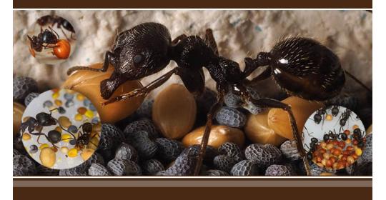 Тонкости питания: сколько еды нужно давать муравьиному семейству