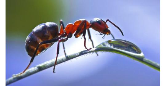 Поилка для муравьев-жнецов: прихоть или необходимость?