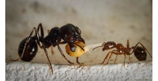 Муравьиная диета: как и чем кормить муравьев-жнецов в формикарии