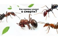 Мертвецам тут не место: как муравьи узнают о смерти сородичей