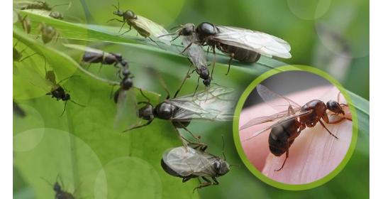 И полетели муравьи, но не на юг