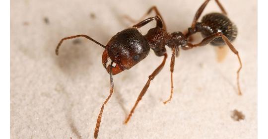 Предъявите документы: рассмотрим вид муравьев Messor Miticus (бывш. Structor)