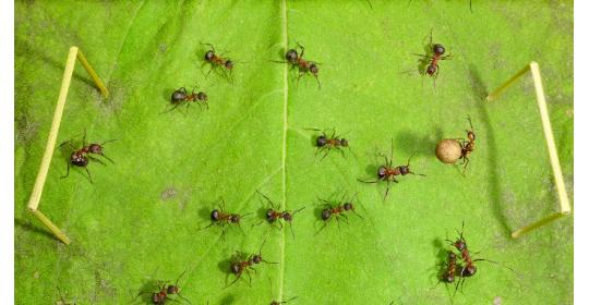 Маленькие гладиаторы: что такое арена в жизни муравьев