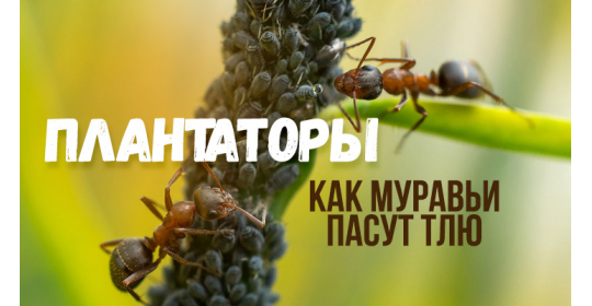 Ковбои с мандибулами — муравьи и тля