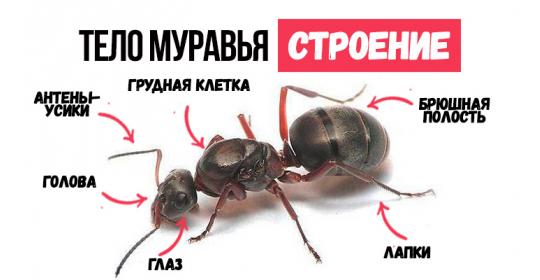 Как устроен муравей: особенности строения