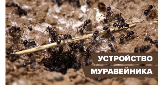 Муравьиный домик: устройство муравейника в природе