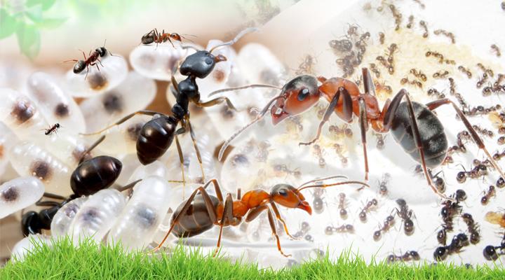 Муравьиный каннибализм: почему муравьи едят свои личинки?